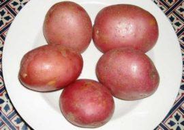 Картофель Моцарт: характеристики сорта, урожайность, отзывы