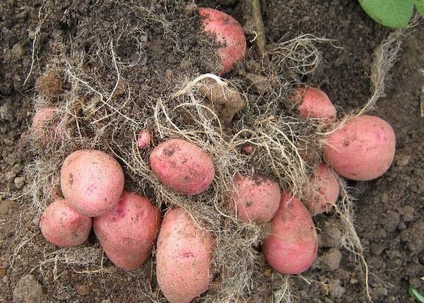 Картофель Красавчик: характеристики сорта, урожайность, отзывы