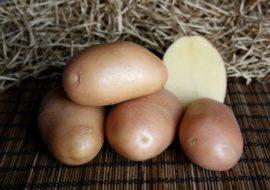 Картофель Ажур: характеристики сорта, урожайность, отзывы