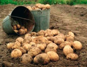 Картофель Колобок: характеристики сорта, как хранить, отзывы