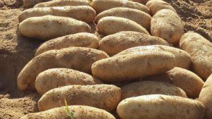 Картофель Дрова: характеристики сорта, вкусовые качества, отзывы