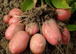 Картофель Розалинд: характеристики сорта, урожайность, отзывы