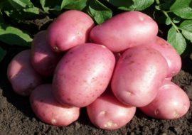 Картофель Лабелла: характеристики сорта, вкусовые качества, отзывы