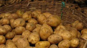 Картофель Сынок: характеристики сорта, вкусовые качества, отзывы