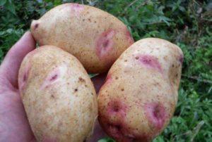 Картофель Галактика: характеристики сорта, вкусовые качества, отзывы