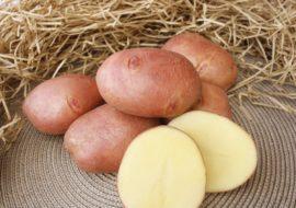Картофель Взрывной: характеристики сорта, вкусовые качества, отзывы