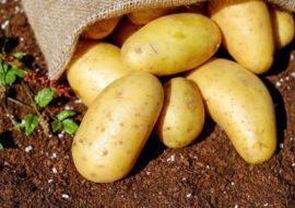 Картофель Коломбо: характеристики сорта, отзывы тех, кто сажал