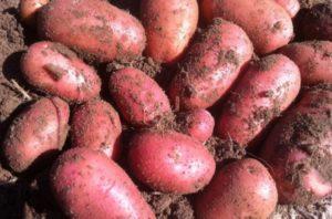 Картофель Ред Леди: характеристики сорта, отзывы, посадка и уход