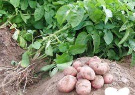 Картофель Рябинушка: описание сорта, вкусовые качества, фото, отзывы