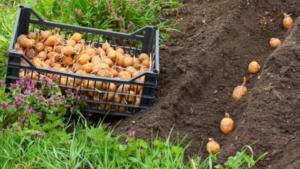 Картофель Сифра: характеристики сорта, вкусовые качества, отзывы