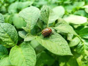 Картофель Барин: характеристики сорта, выращивание, отзывы