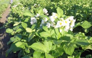 Картофель Лабадия: характеристики сорта, урожайность, отзывы