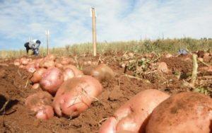 Картофель Ирбитский: характеристики сорта, вкусовые качества, отзывы