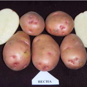 Картофель Весна: характеристики сорта, урожайность, отзывы