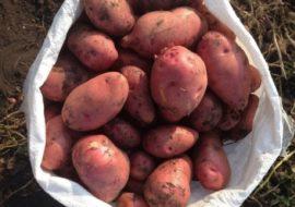 Картофель Славянка: характеристики сорта, урожайность, отзывы