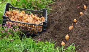Картофель Леди Клэр (Клер): описание сорта, фото, отзывы