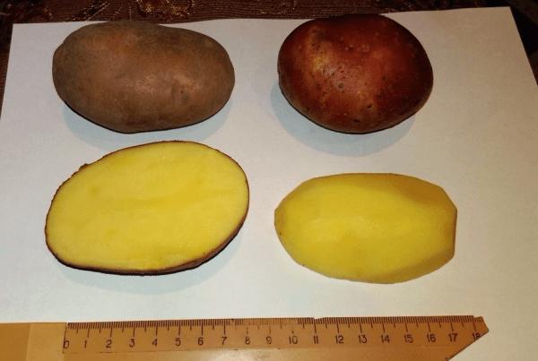 Картофель Вектор: характеристики сорта, вкусовые качества, отзывы