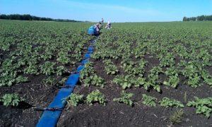 Картофель Baltic Rose (Балтик Роуз): характеристики сорта, отзывы