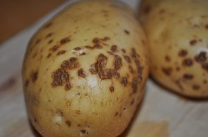 Картофель Madeline (Маделине): характеристики сорта, отзывы