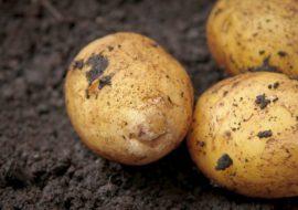 Картофель Аризона: характеристики сорта, вкусовые качества, отзывы