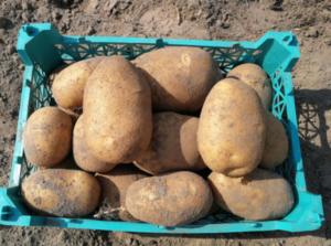 Картофель Банба: характеристики сорта, вкусовые качества, отзывы