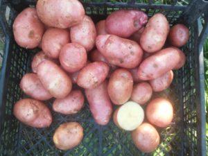 Картофель Краса: характеристики сорта, вкусовые качества, отзывы