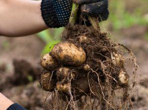 Картофель Каратоп: характеристики сорта, вкусовые качества, отзывы