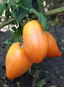 Сорт томата Перцевидный оранжевый: описание и фото
