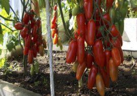 Помидоры Жигало: описание сорта, фото