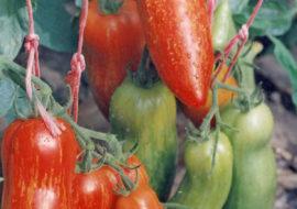 Сорт томата Перцевидный полосатый: описание и фото
