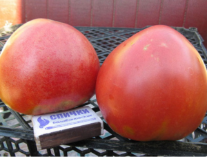 Помидоры Абаканский розовый: характеристика и описание сорта, фото, где выращивают