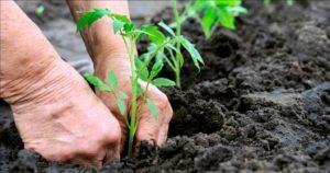 Томат Сто процентов: характеристика и описание сорта, фото, урожайность