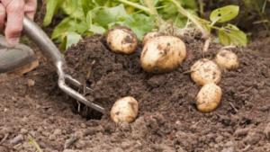 Картофель Лидер: характеристики сорта, урожайность, отзывы