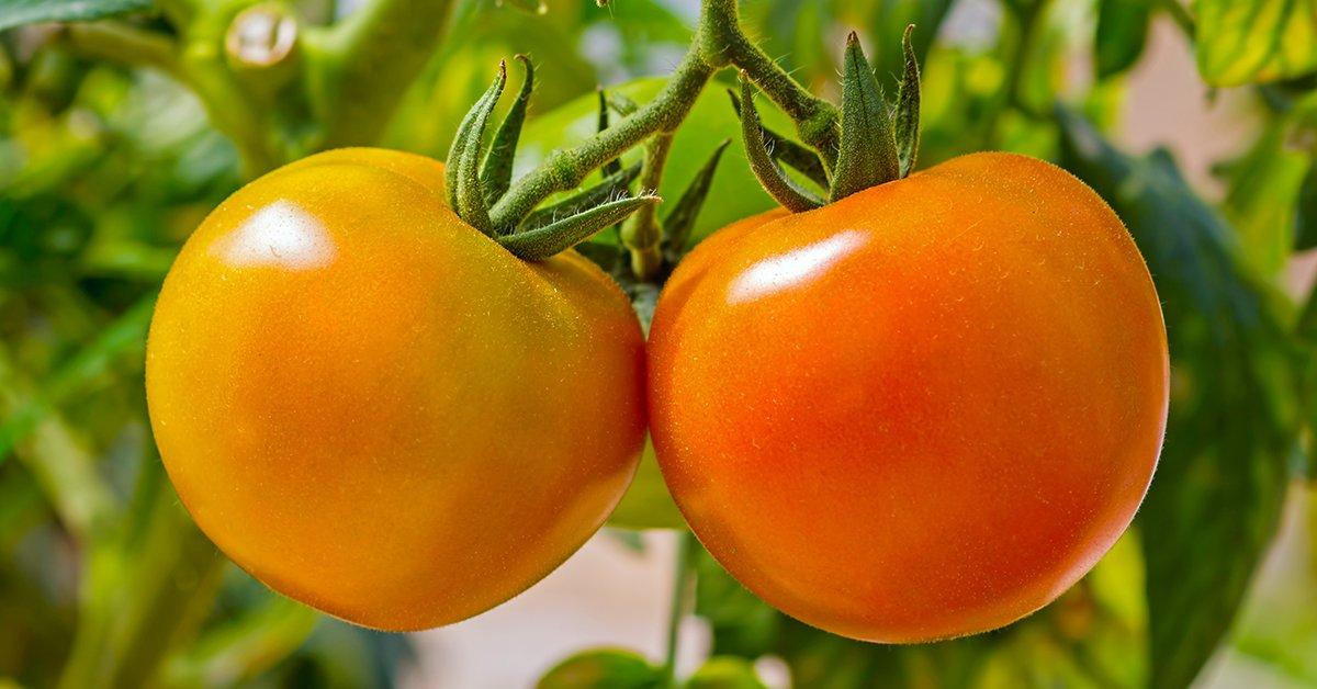 решил изменить томат слот фото куста снова девушка