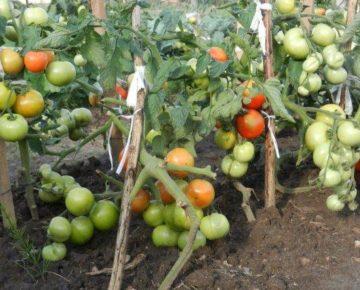 Помидоры Катя F1: характеристика и описание сорта, фото, урожайность, как пасынковать