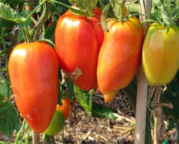 Сорт томата Перцевидный гигант: описание и фото