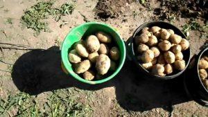 Картофель Реванш: характеристики сорта, урожайность, отзывы
