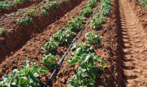 Картофель Сиреневый туман: характеристики сорта, урожайность, отзывы