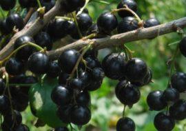 Черная смородина Багира: характеристика сорта, посадка и уход
