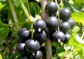 Черная смородина Пигмей: описание сорта, посадка и уход