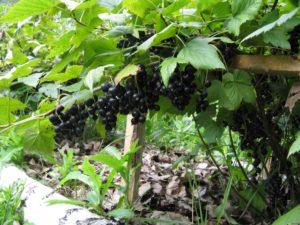 Черная смородина Деликатес: описание, посадка и уход
