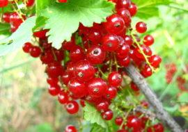 Красная смородина Ранняя сладкая: посадка и уход, фото