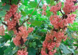 Смородина Голландская красная, розовая: посадка и уход