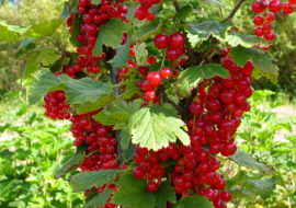 Красная смородина Уральская красавица: описание, отзывы