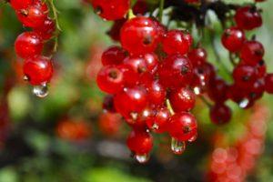 Красная смородина Мармеладница: описание, посадка и уход