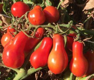 Помидоры Груша красная: описание сорта, фото