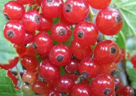 Красная смородина Сахарная: описание, посадка и уход