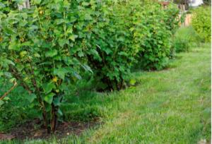 Черная смородина Зеленая дымка: описание, посадка и уход