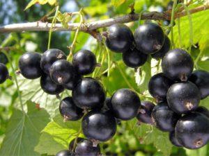 Черная смородина Лентяй: описание, урожайность, посадка и уход