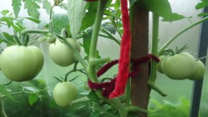 Сорт томата Белла Росса: фото и описание